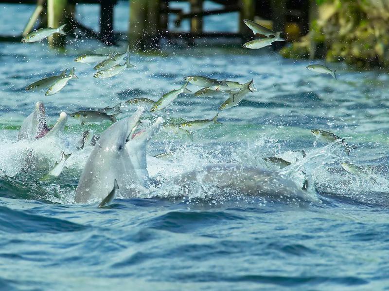 Wild Dolphins Feeding
