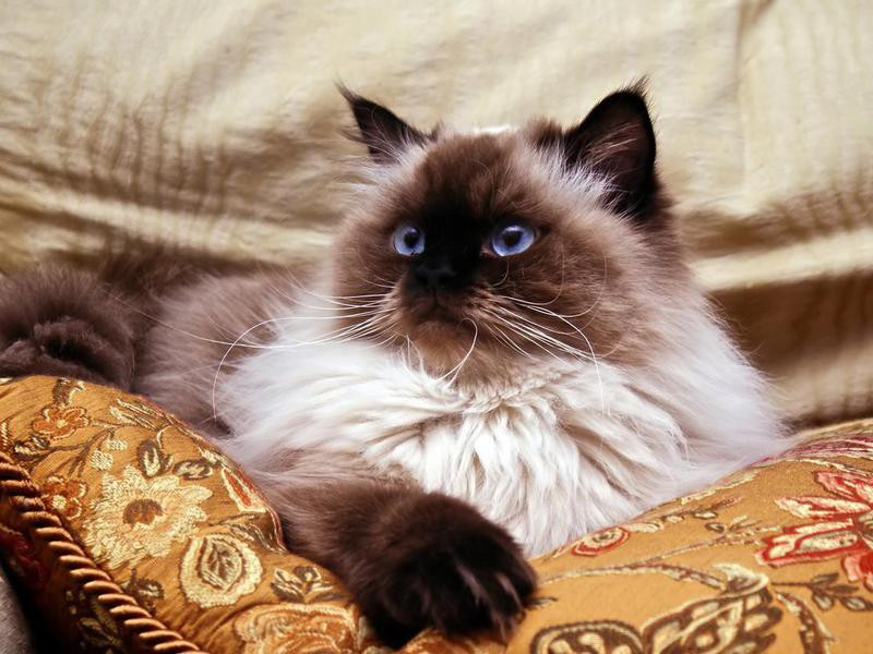 Himalayan cat on couch