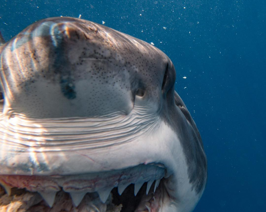 Up-close photo of a great white shark