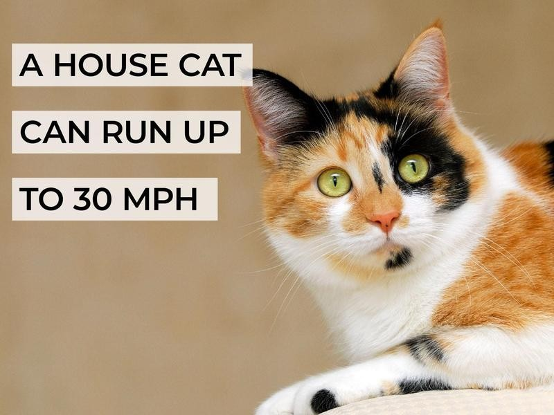 A House Cat Can Run Up to 30 MPH