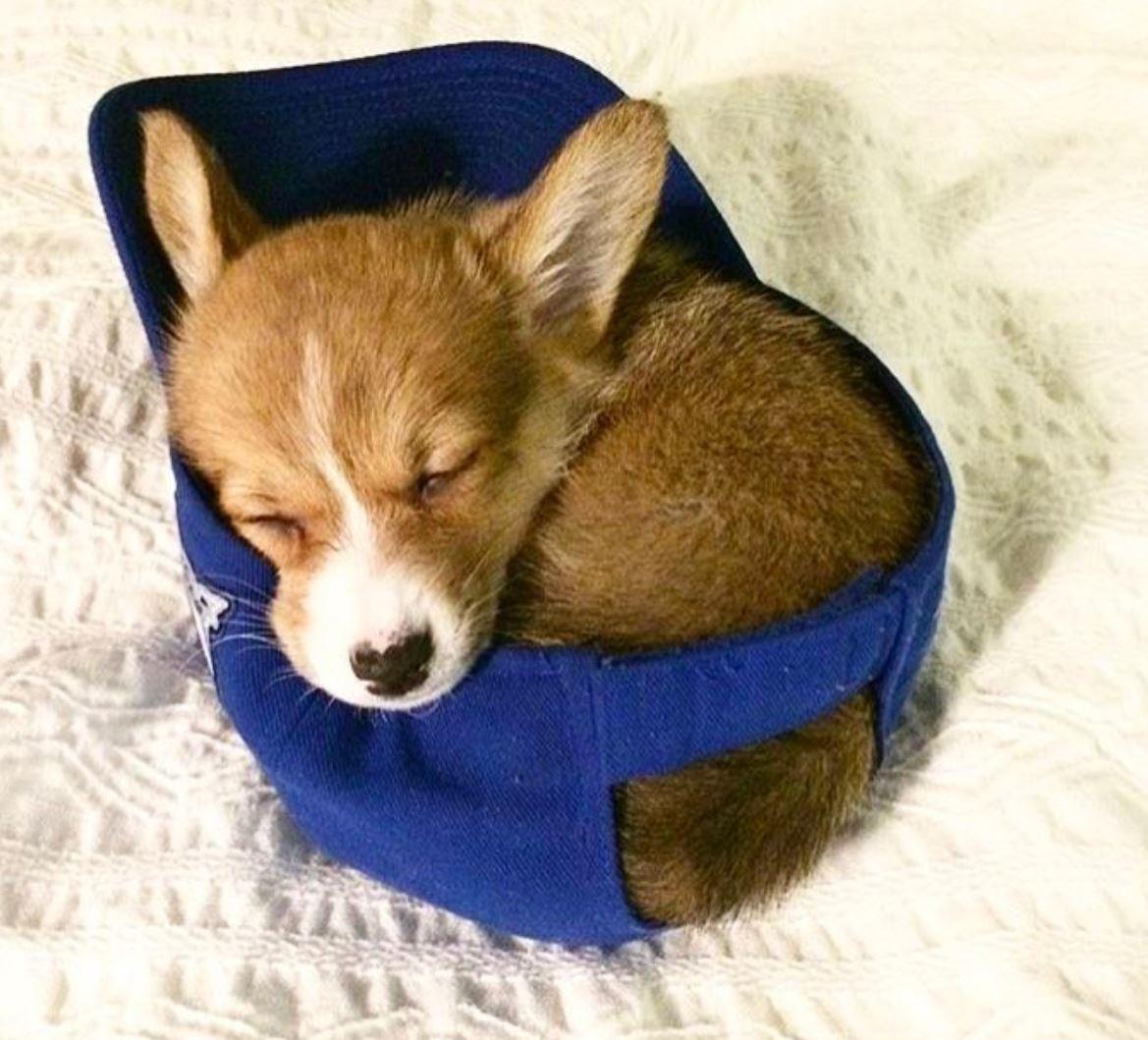 Sleeping puppy corgi
