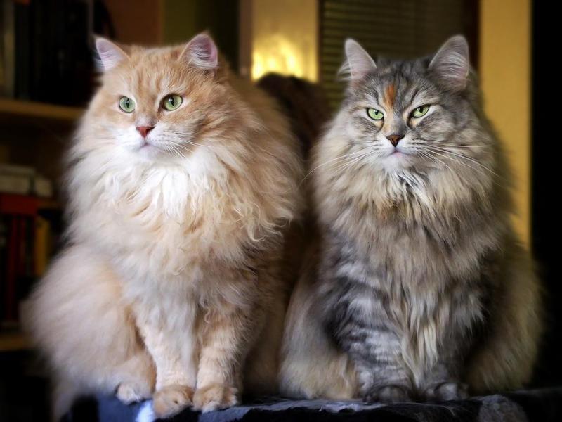 Siberian cats on a cat-tree