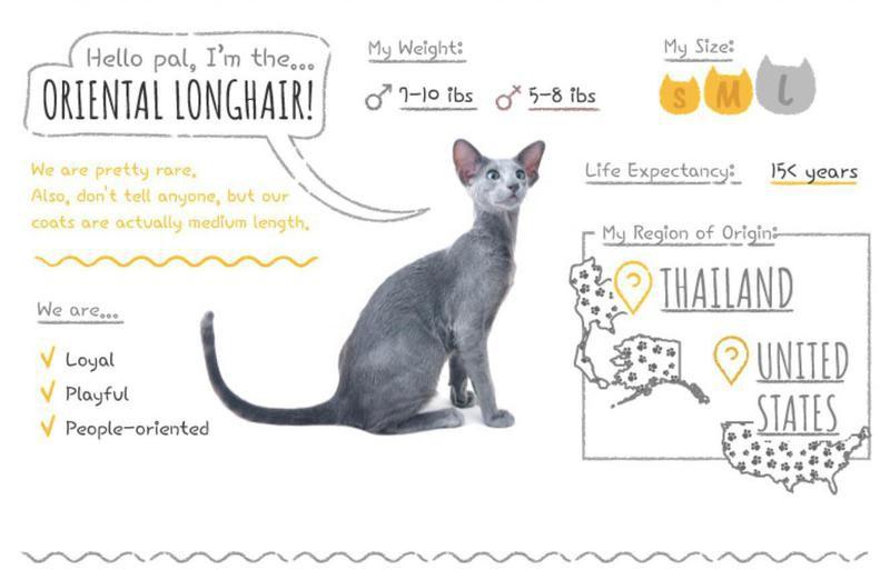 Oriental Longhair stats