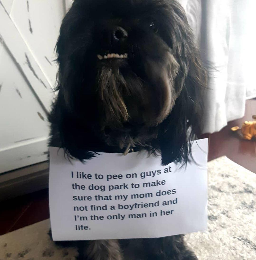 Black Havanese dog
