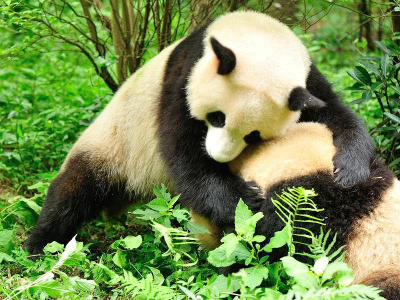 Do panda bears fight