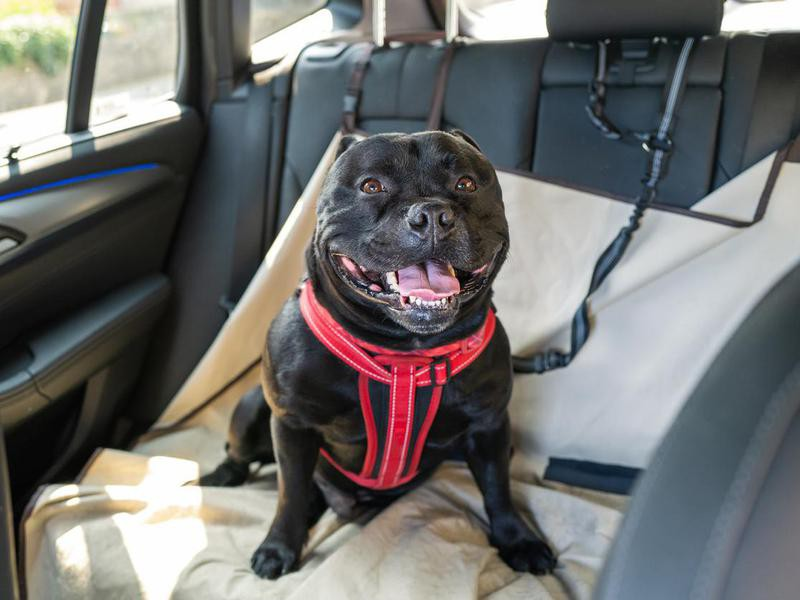 Staffordshire Bull Terrier in a car with dog harness