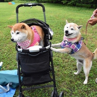 Dog pushing another dog in stroller