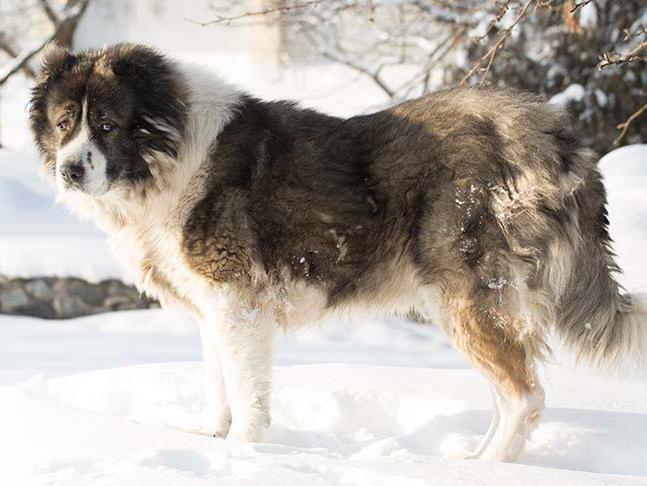 Caucasian Shepherd Overview