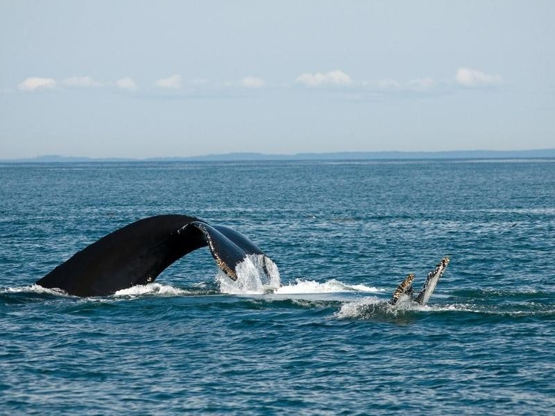 Whales Playing in Grand Manan Island