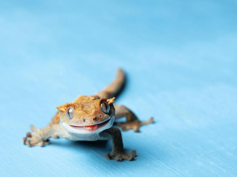 Pet Crested Gecko