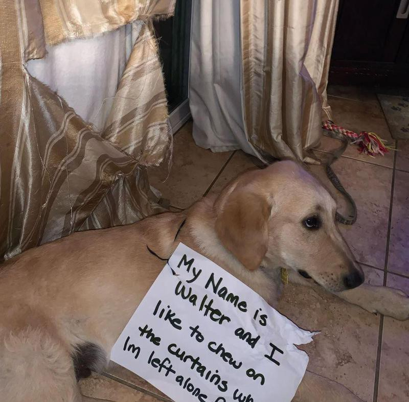 Golden retriever in trouble