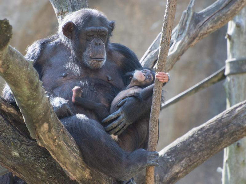 Chimpanzees at Saint Louis Zoo