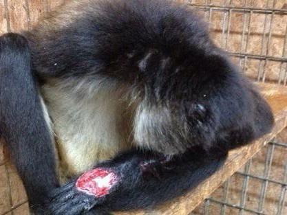 Injured macaque at Natural Bridge Zoo