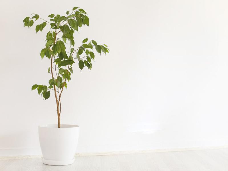 Large ficus plant