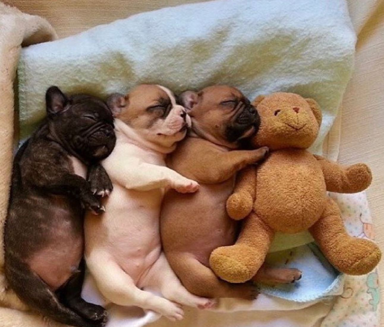 Group of sleeping french bulldogs