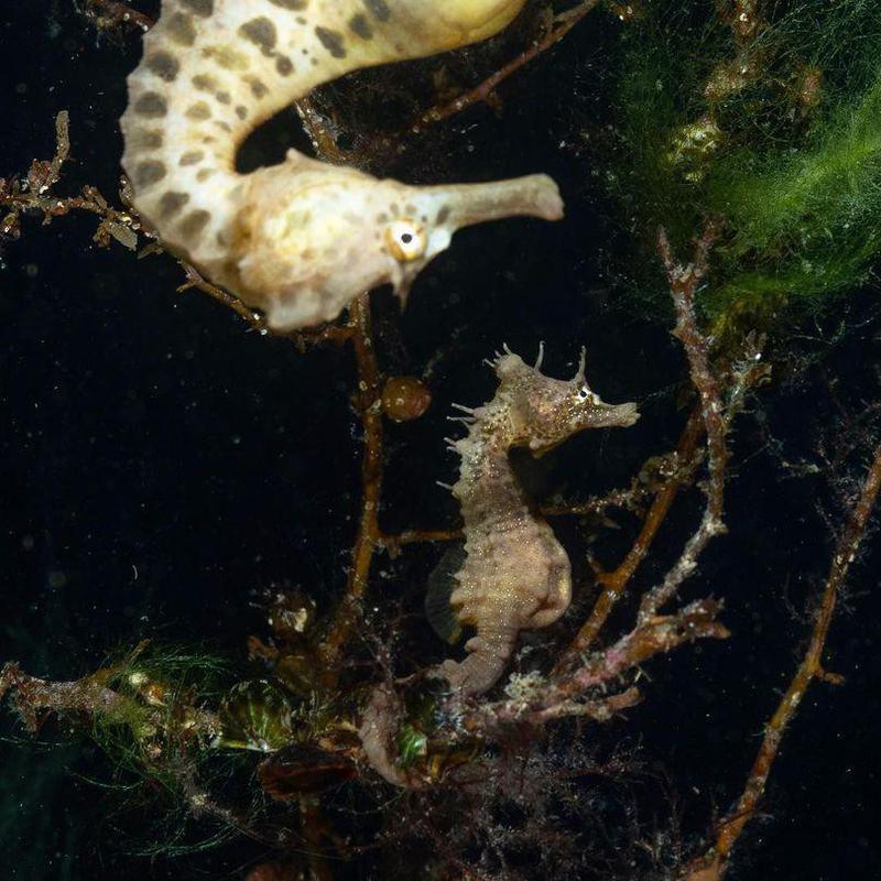Seahorse photobomb
