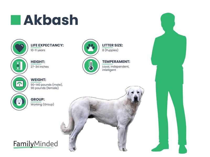 Akbash breed info
