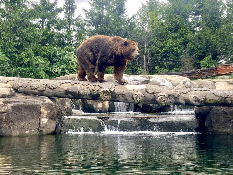 Grizzly bear at the Columbus Zoo