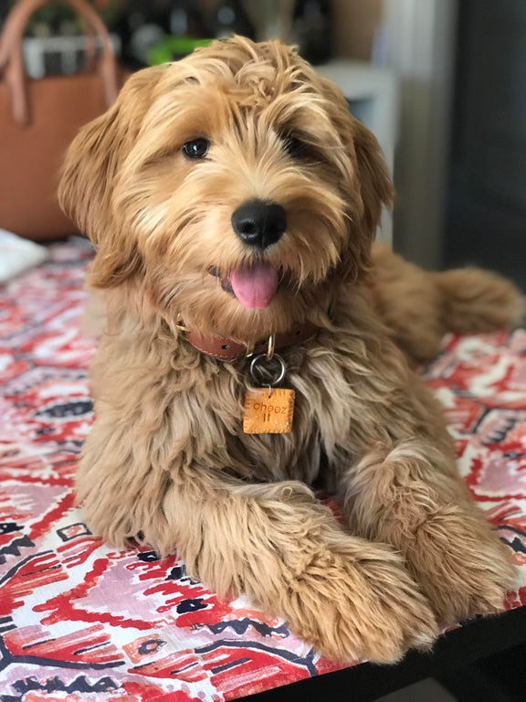 Cheez-It the dog