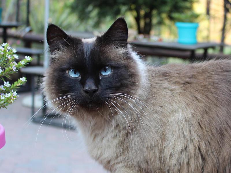 Balinese cat outside