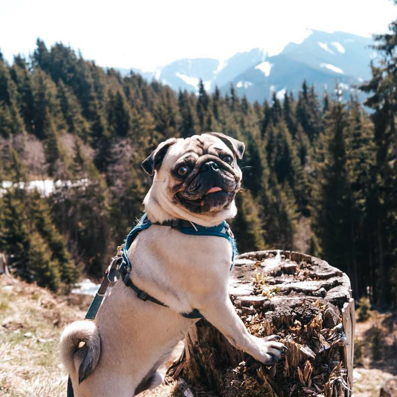 White pug hiking in the woods