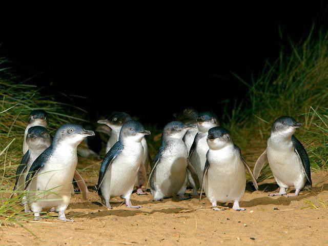 Phillip Island Penguin