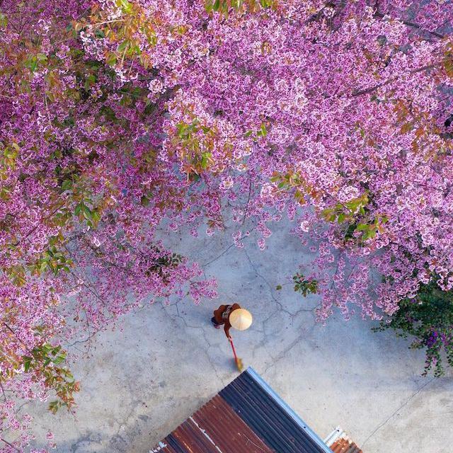 Cherry blossoms in Vietnam
