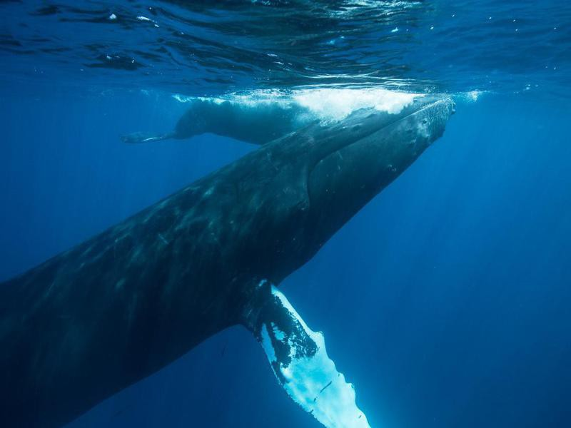 Humpback Whale Mother and Calf Surfacing