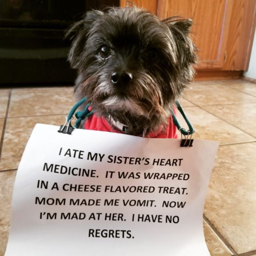 Dog ate heart medicine