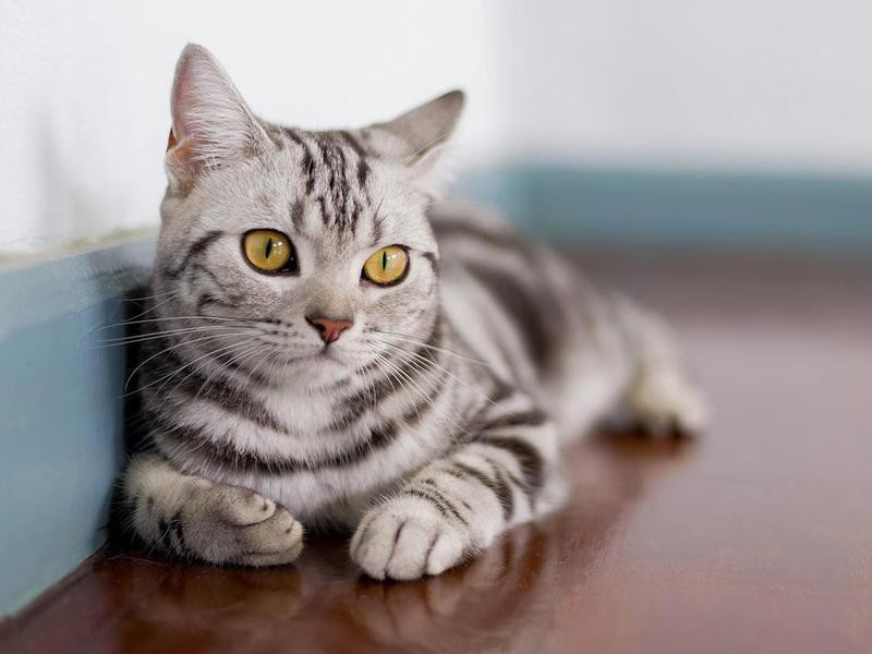American Shorthair Cat In Room