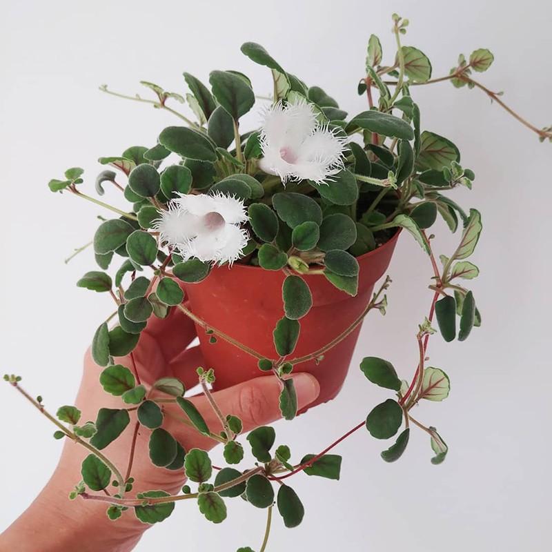 Lace Flower Vine