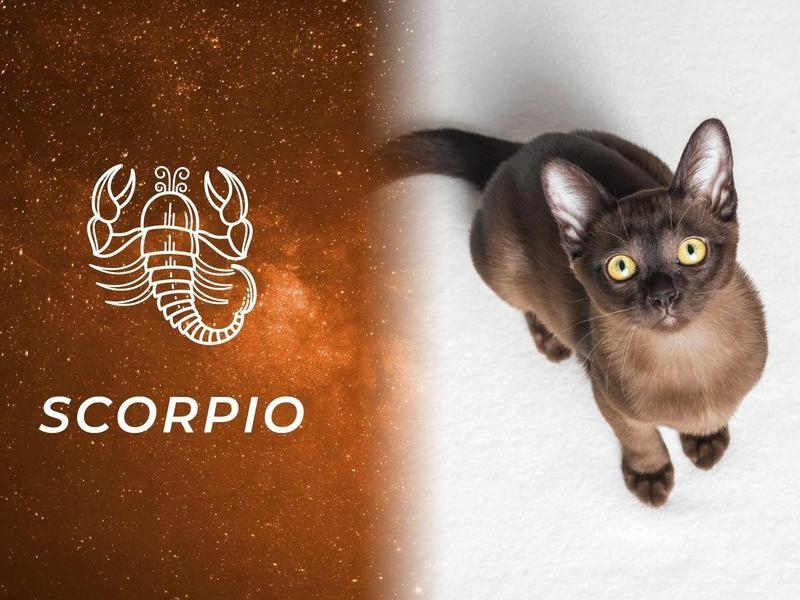 Scorpio: European Burmese