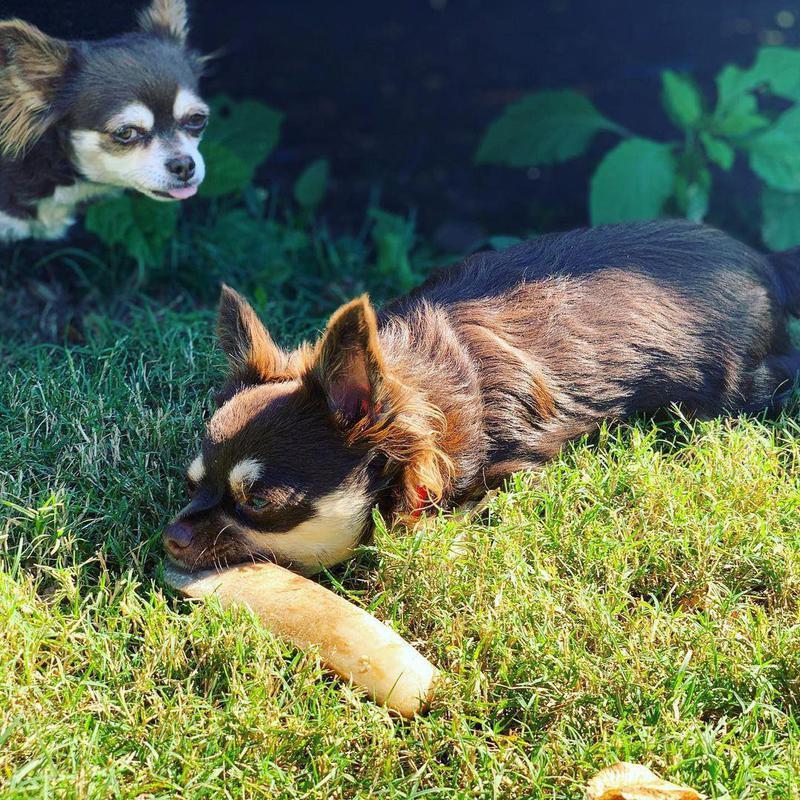 Chihuahua photobombing another chihuahua