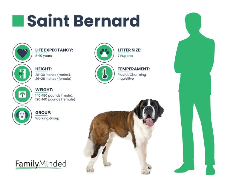 Saint Bernard breed