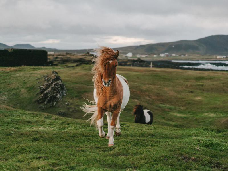 Brown Icelandic horse in meadow