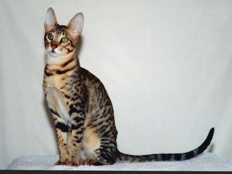 Serengeti male cat