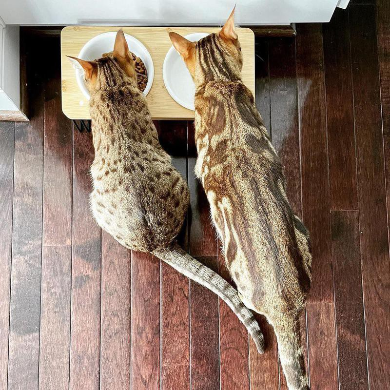 Two Ocicats eating