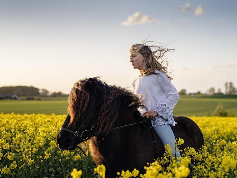 Girl on Icelandic horse through a Canola field