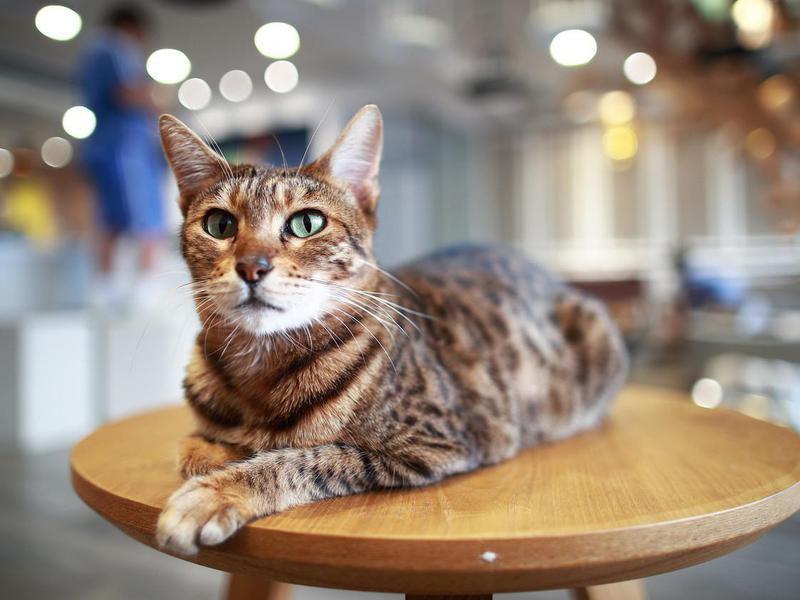 Ocicat on table