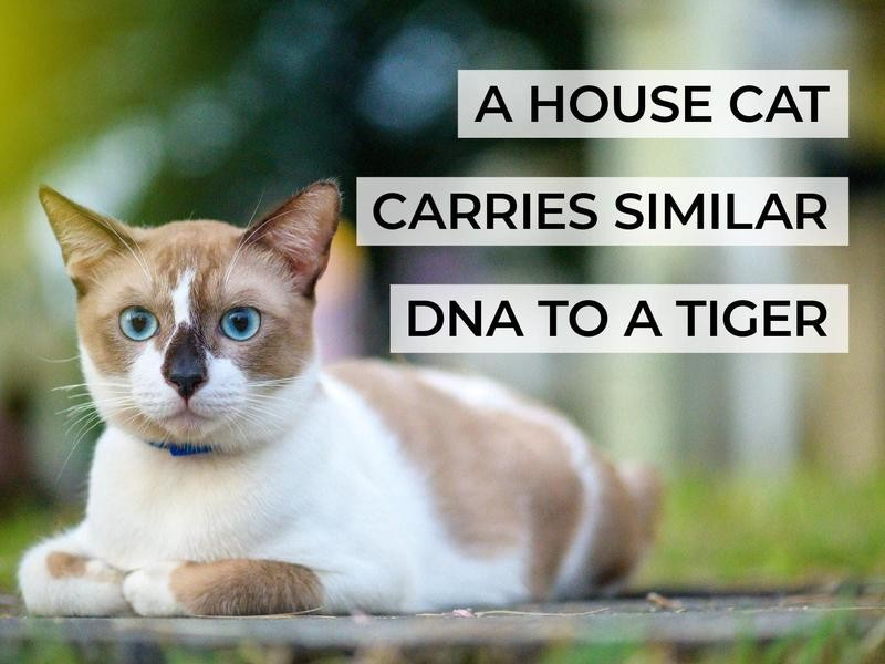 A House Cat Carries Similar DNA to a Tiger