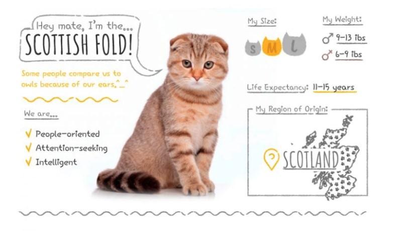 Scottish Fold stats