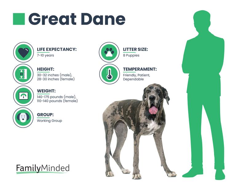 Great Dane info