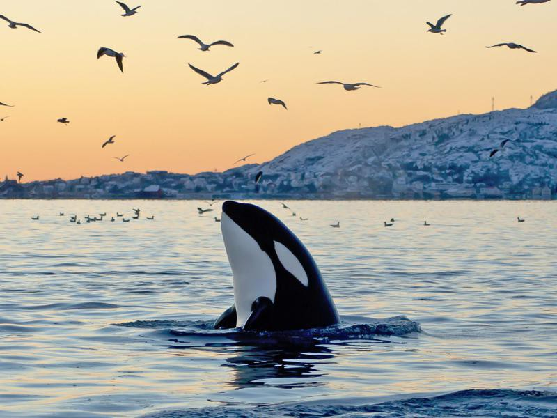 Orca emerging from the ocean