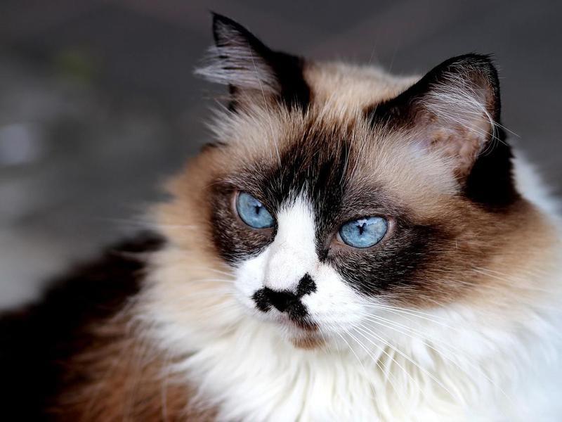 cute himalayan cat