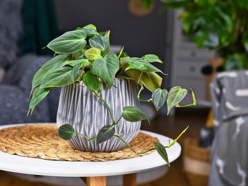 Tropical 'Philodendron Hederaceum Micans' houseplant