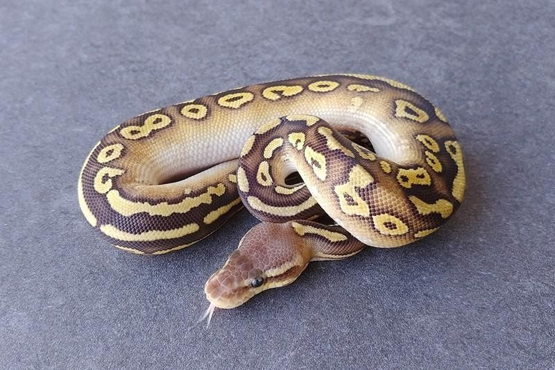 Monsoon Ball Python