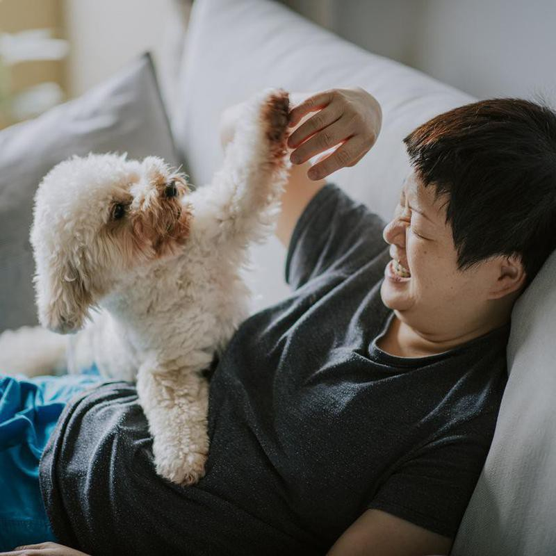 Toy poodle playing with owner