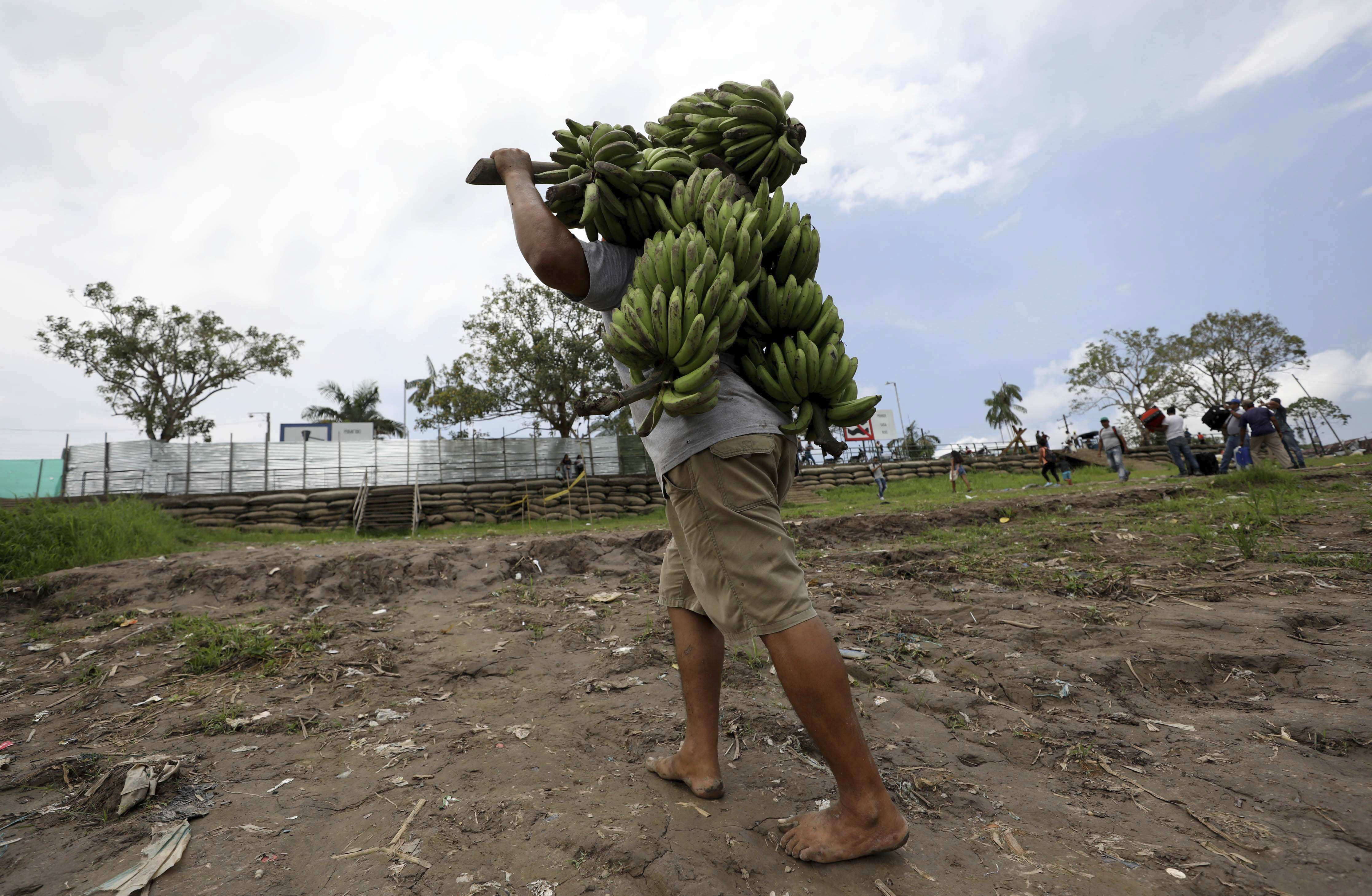 Bananas in Colombia