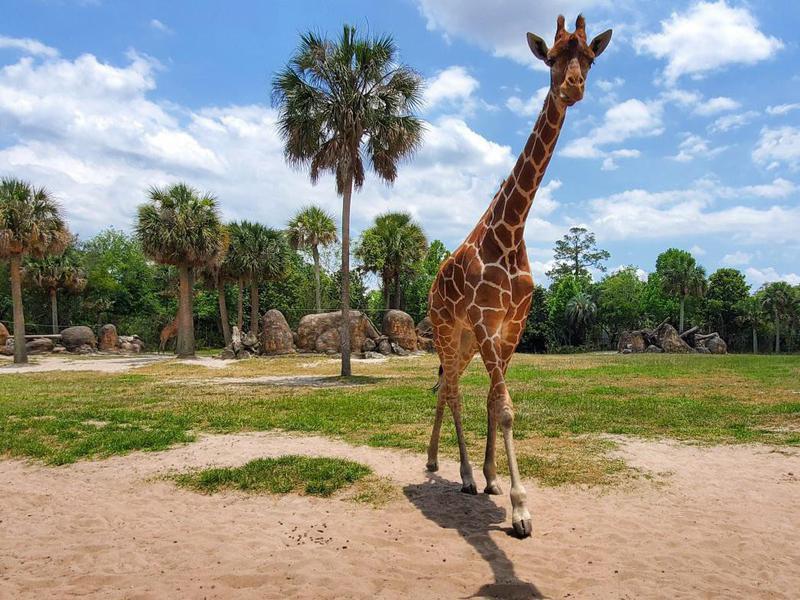Giraffe walking in zoo