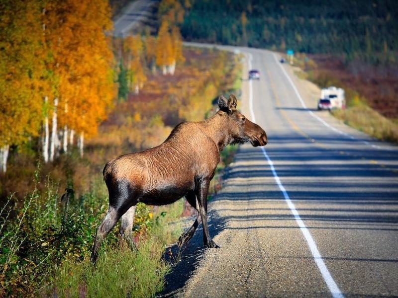 Moose crossing a road